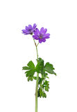 Hedgerow Crane`s-bill (Geranium pyrenaicum) Royalty Free Stock Images