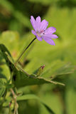 Hedgerow Cranesbill Royalty Free Stock Images