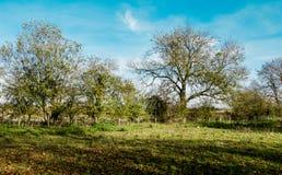 Hedgerow drzewa w jesieni słońcu Fotografia Stock