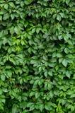 Hedgerow fertile Fotografie Stock Libere da Diritti