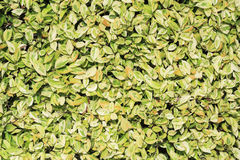 Hedgerow  - Live fence leaves. Hedgerow - Live fence leaves - Wall green Royalty Free Stock Photo