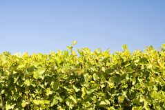 Free Hedgerow Of Scrubs Royalty Free Stock Image - 21024916
