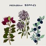 Hedgerow Plants Vector Illustration royalty free illustration