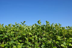 Hedgerow of shrubs. Or trees enclosing or separating fields stock image