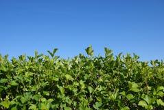 hedgerowbuskar Fotografering för Bildbyråer