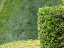 Hedges. Hedge on the green background Stock Image