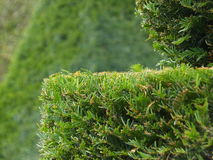 Hedges. Hedge on the green background Stock Photo