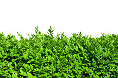 Hedges of boxwood Stock Photos