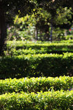 Hedges in a garden, blurred background Stock Photos
