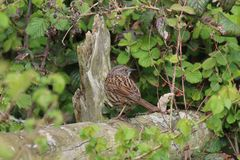 Hedgesparrow or Dunnock (Prunella modularis) Royalty Free Stock Photography