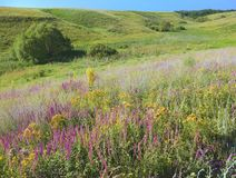 Hedgrässlättar, torr äng, med många blommor Solen är glänsande över fältet Royaltyfri Foto