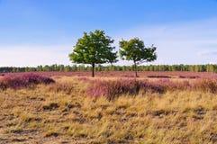 Hedlandskap med blomningljung Royaltyfria Bilder