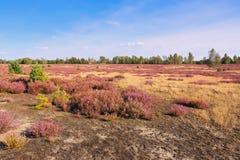 Hedlandskap med blomningljung Arkivfoton