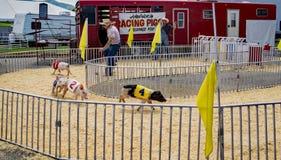 Hedrick's Racing Pigs. Salem, VA – July 1st: Hedrick's racing pigs show at the 17th annual Salem Fair, Salem, VA, USA on the 1st of July, 2017 Stock Photo