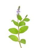 Hedteveronika (Veronica-officinalis) arkivfoton