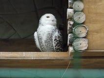 Hedwig está esperando-a para ser dada uma letra Fotografia de Stock