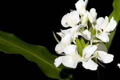 Hedychium Royalty Free Stock Images