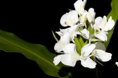 Hedychium Imágenes de archivo libres de regalías