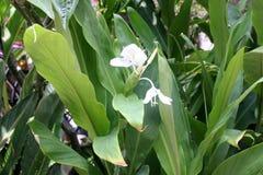 Hedychium coronarium, White garland lily, White ginger lily Royalty Free Stock Image