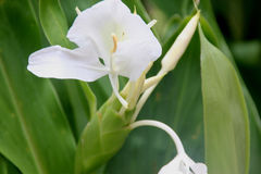 Hedychium coronarium, White garland lily, White ginger lily Royalty Free Stock Photography