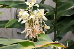 Hedychium flavescens, Cream garland-lily, Yellow ginger, Stock Photos