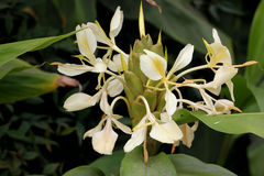 Hedychium flavescens, Cream garland-lily, Yellow ginger, Stock Photography