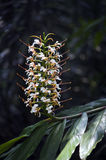 Hedychium, flowering plant of the ginger family Stock Photos