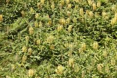 Hedychium gardnerianum green vertical forest in Flores island, A Stock Image