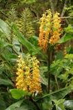Hedychiumspicatum royalty-vrije stock foto's