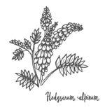 Hedysarum alpinum, leczniczy ziele Obrazy Royalty Free