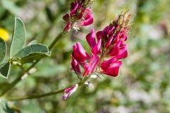 Hedysarum coronarium, Sulla Stock Photography
