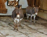 Hee Haw Donkeys Imagem de Stock Royalty Free