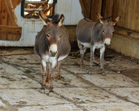 Hee Haw osły Obraz Royalty Free