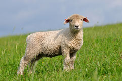 Heedful lamb Royalty Free Stock Photo