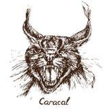 Heeft de Caracal rode kat, rooikat, rood of Perzisch lynx het grommen portret, een verbitterde mond, hoektanden geopend royalty-vrije illustratie