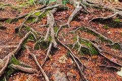 heeft de close-up gedetailleerde mening van diverse blootgestelde boomwortels, Wortels twee belangrijke rollen die bomen in de gr royalty-vrije stock fotografie