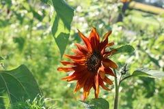 Heeft deze mooie zonnebloem tot bloei kwam Of zijn deze unieke kleuren stock foto's