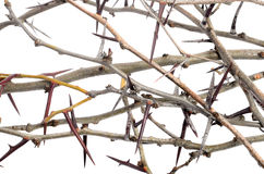 Heel wat acacia vertakt zich met doornen die op witte backgroun worden geïsoleerd Royalty-vrije Stock Foto's
