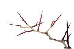 Heel wat acacia vertakt zich met doornen die op witte backgroun worden geïsoleerd Stock Fotografie