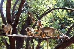 Heel wat apen op de boom stock afbeeldingen