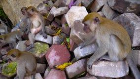 Heel wat apen op stenen in het park van Maleisië 4K stock videobeelden