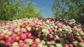 Heel wat appelen in een houten doos stock video
