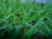 Heel wat dauwdalingen op de bovenkant van het groene gras in de ochtend, is er oranje zonneschijn, voelend vers telkens als u kij stock foto
