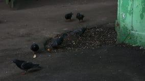 Heel wat duiven die voor voedsel vechten stock footage