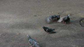 Heel wat duiven die voor voedsel vechten stock videobeelden
