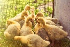 Heel wat eenden in het vogelhuis Royalty-vrije Stock Afbeeldingen