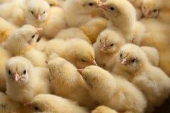 Heel wat gele kuikens of babykip op het landbouwbedrijf voor groeiende kip royalty-vrije stock foto's