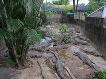 Heel wat grijze alligators liggen op de concrete vloer in een krokodillandbouwbedrijf stock afbeeldingen