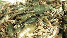 Heel wat groene levende rivierkreeften stock videobeelden