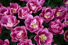 Heel wat heldere purpere het groeien tulpen Hoogste mening royalty-vrije stock afbeelding